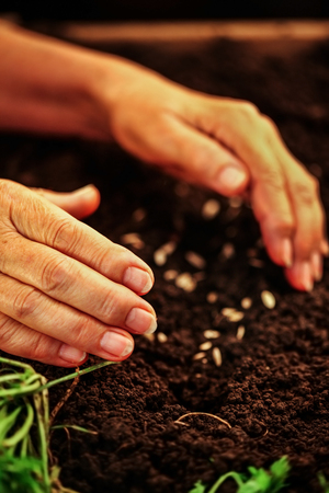 croft: Hand of an elderly woman throwing seeds in the ground. Planting seeds in spring. Dirt with seeds. Future concept. Stock Photo