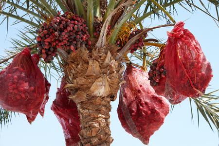Dates palm tree crop blue sky in tropical climate. 版權商用圖片