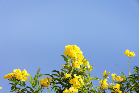 Yellow tropical flowers against blue sky in tropical climate.