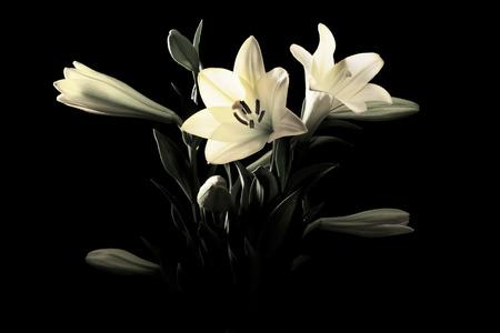 noir et blanc: Gros plan sur Yellow Lily Black & White Banque d'images