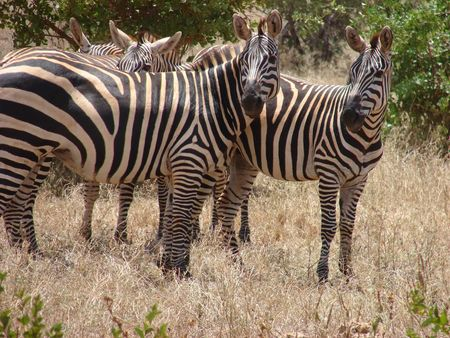 Masai Zebras Stock Photo - 3442512