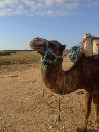The camel in Tunisia photo