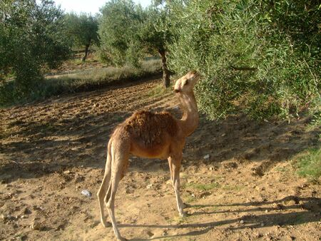 The Young Camel in Tunisia Stock Photo - 3770543