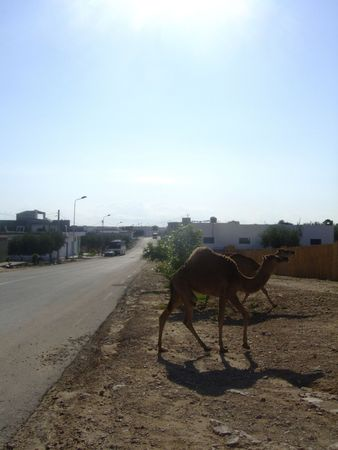 The camel on the way in Tunisia photo