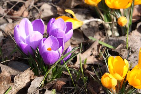iridaceae: Crocus flowers blooming in spring Stock Photo