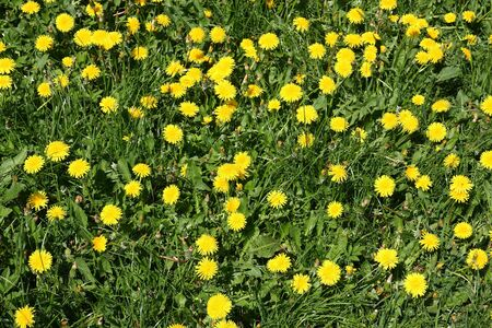 Blooming sow flowers Stock Photo - 4785452