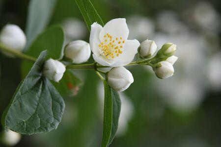 Jasmine bloemen op de bush.