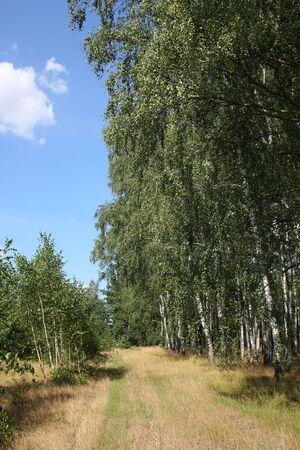 Birch forest in summer photo