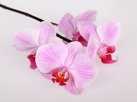 Pink stripy phalaenopsis orchid photo