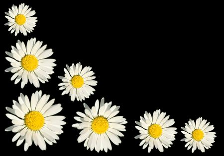 Wild white daisy background concept photo