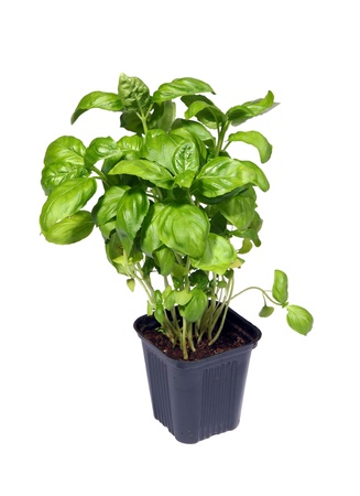 Growing green basil plants in pot isolated on white photo