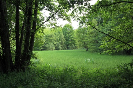 Green forest clearing in the summer photo