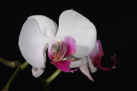 Orchid isolated on the black background photo