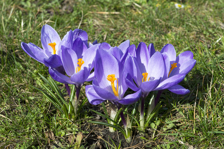Crocus, the first spring flowers photo