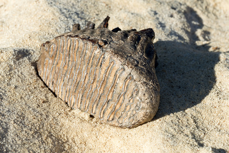 Mammoth tooth on a sand background  It was found in north-eastern Poland