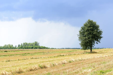 non urban 1: Green alone tree on a cultivated land with sky before the storm. Stock Photo