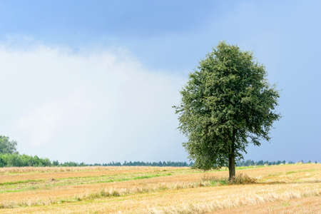 non cultivated: Green alone tree on a cultivated land with sky before the storm. Stock Photo