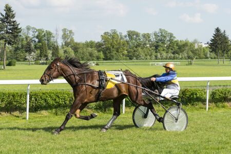 trotters: Wroclaw Poland May 10 2015: Finish the International race for 3yearold and older trotters French sulki in Wroclaw. In the photograph can be seen horses USIT number 7 winner of the second race.
