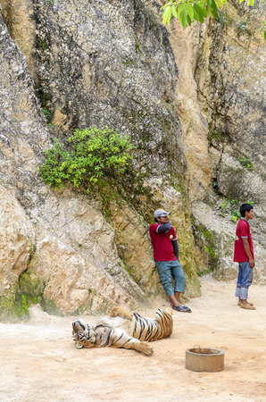 congenial: Volunteers take care of tigers in the Buddhist Tiger Temple on November 9, 2014 in Kanchanaburi.