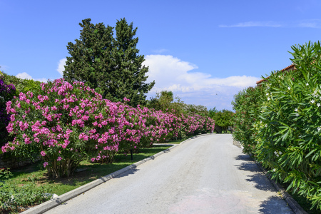 Street with oleander flowers On the island of Corfu, Greece Stock Photo
