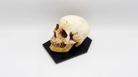Real human skull head hand made and white background.