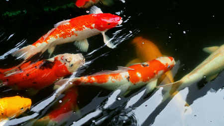 Beautiful and colorful Japanese Koi carp fish swimming in the pool.