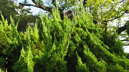Big Traditional Japanese Green Color Pine Tree In The Garden Of Himeji  Castle At Kansai Area