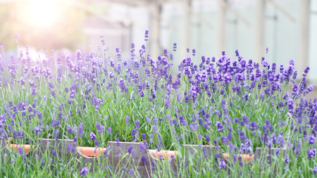 Bright and colorful of violet lavender flower blooming and fragrance with sunlight outdoor.