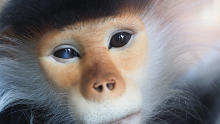 Close-up images of Red-shanked douc langur or Pygathrix nemaeus which is a kind of wild life Primates monkey and mostly can be found in Vietnam, Laos or Thailand plateau or rain forest