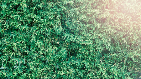 Bamboo tree which green color fresh leaf and light brown for body and beautiful pattern for background or decoration outdoor architecture building and can use for natural private fence in house. Imagens