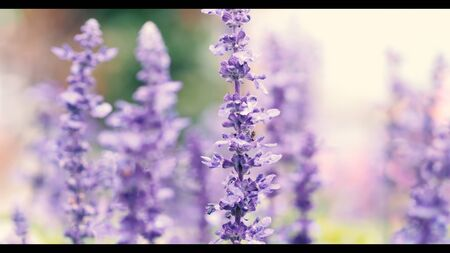 Lavender flower are bright and colorful violet color blooming and fragrancing with sunlight outdoor at Furano district Hokkaido north part of Japan in summer season mid of August  Stok Fotoğraf