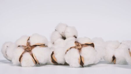 Real white color organic cotton flowers in studio shot that imported from Holland which represent nature pureness fluffy and softness and gentle to skin and show texture that suitable for t-shirt or pants in textile industry Stock fotó