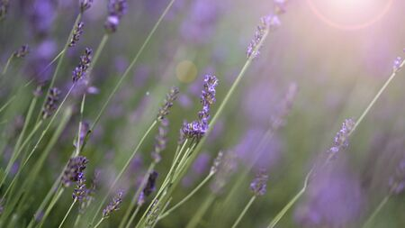 Lavender flowers purple color and sunset light flare to camera which represent fragrance for relaxing mood and shoot from summer in Furano prefecture north part of Hokkaido Japan 版權商用圖片