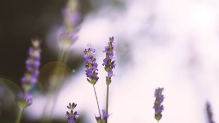 Lavender flowers purple color and sunset light flare to camera which represent fragrance for relaxing mood and shoot from summer in Furano prefecture north part of Hokkaido Japan 版權商用圖片 - 148453120