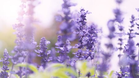Lavender flowers purple color and sunset light flare to camera which represent fragrance for relaxing mood and shoot from summer in Furano prefecture north part of Hokkaido Japan 写真素材