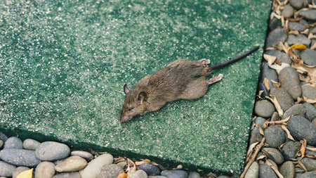 Close-up images of dead rat or mouse which died by rodenticide. the mousy is a small animal that carrier disease, bacteria, germ and pathogen to human in the house. it very unhealthy and unhygienic.