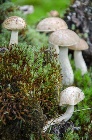 Mushroom in the light green forest. Autumn. Dry leaves,  moss background.