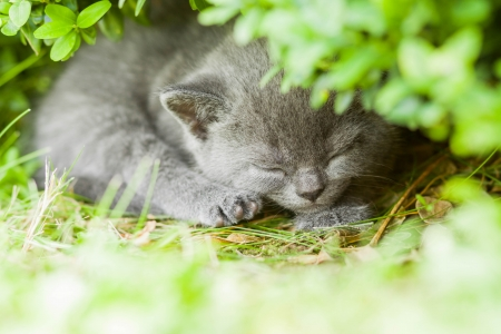 Young grey kitten lying in the garden on fresh green grass photo