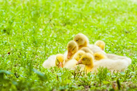 Young freshly newborn duckling grouping and sitting in fresh green grass home garden photo