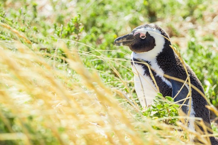 Penguin in the wild green and yellow colored grass photo