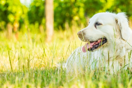 Golden retriever lying down on green grass during hot sunny day photo