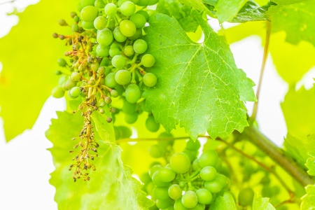 Green cluster of wine ripening, shot in the middle of summer, during hot and sunny day photo