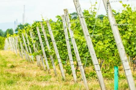 medium shot: Medium shot of narrow aisle inside of Bohemian vineyard
