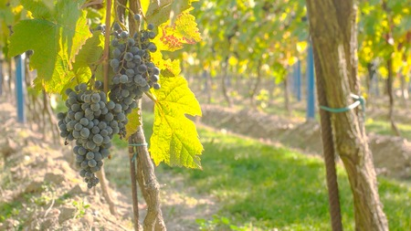 Wine grape hanging from the tree, tranquil scene