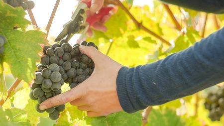 Wine grape hanging from the tree, woman hand slowly cutting grapes Zdjęcie Seryjne
