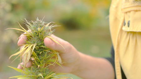 Young caucasian woman looking at the seeds of fully grown weed plant