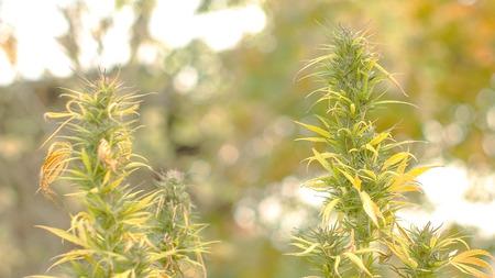 Static shot of Marijuana flower slowly swinging in the wind