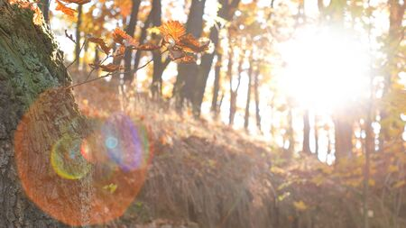 Static tranquil forest with leafs falling in front of the camera, lens flare in the scene Zdjęcie Seryjne