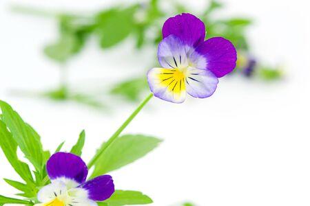 pansies photo