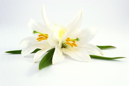 white lilies  Imagens